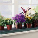 cveti-na-kyxne-150x150 Оригинальные комнатные цветы украсят любой подоконник