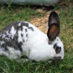 biznes-plan-po-razvedeniyu-krolikov-150x150 Разведение кроликов как возможность иметь дополнительный заработок